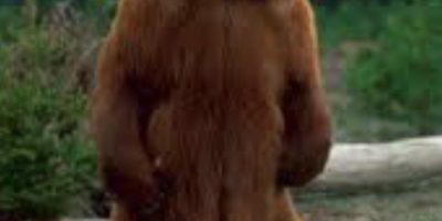 Describing a bear